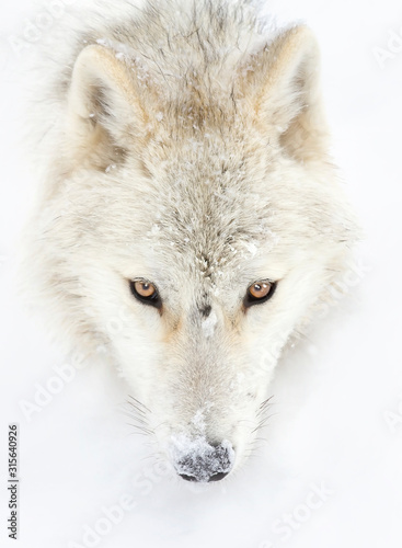Arctic wolf headshot isolated on white background closeup in the winter snow in Wallpaper Mural