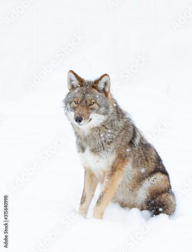 A lone coyote Canis latrans isolated on white background sitting in the winter s Canvas Print