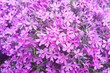 Leinwanddruck Bild - Close-up of beautiful purple flowers, phlox subulata, also known as moss phlox, mountain phlox
