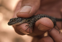 "Lizard (or ""lagartija Esbelta""..."