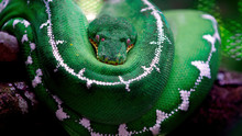 The Green Snake Is Curled Up I...