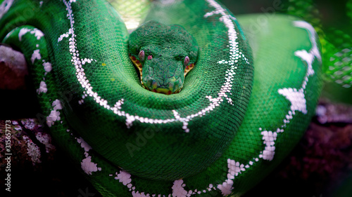 Fotomural The green snake is curled up in a ball and looks directly at the camera