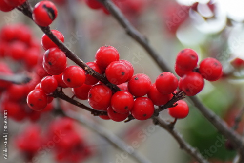 Red Winterberry Holly 'Maryland Beauty'