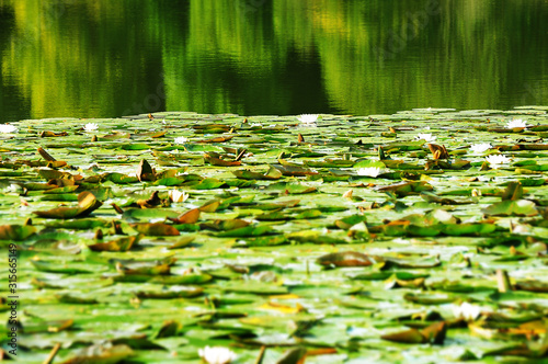 green lilly pads Canvas Print