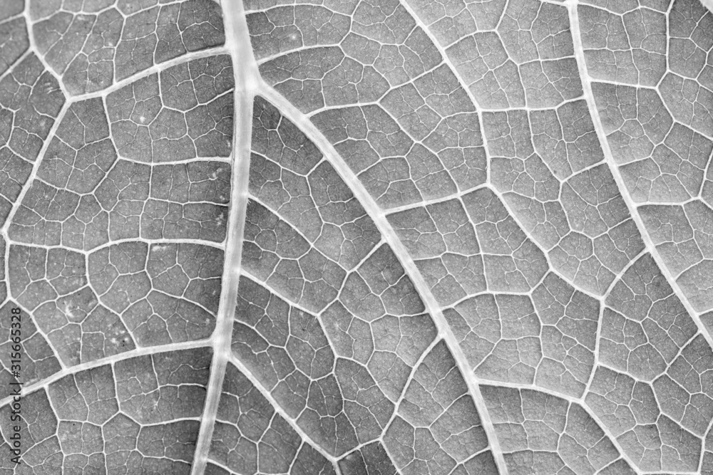 Fototapeta black and white leaf close up in the detail