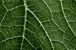 green leaf close up in the detail