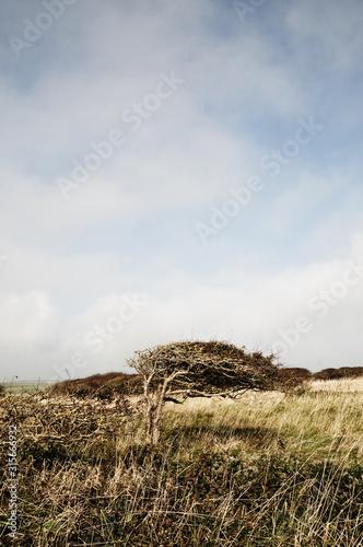 Fototapeta windswept tree