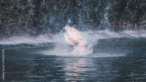 Ours blanc remontant à la surface de l'eau Tapéta, Fotótapéta
