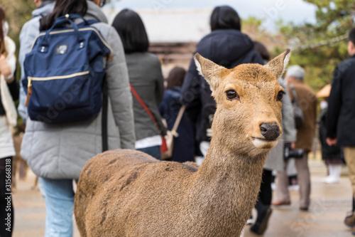 シカと人間が共存する、日本の奈良県の風景 Tableau sur Toile