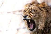 A Male Lion Ready To Attack