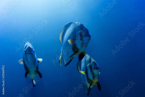 Photo striped fishes swimming under water in aquarium with blue lighting