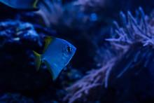 Exotic Fish Swimming Under Water In Dark Aquarium With Blue Lighting