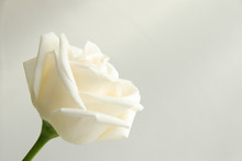White Rose Isolated On A White...