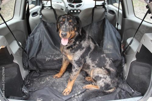 Foto  Chienne beauceron dans le coffre d'une voiture