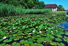 Czech Republic-view Of The White Water Lily