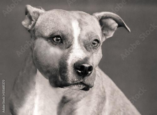 Vászonkép  close up of beautiful american staff dog in sepia