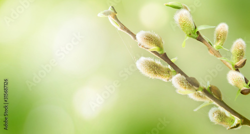 Photo Spring nature background with pussy willow branches.
