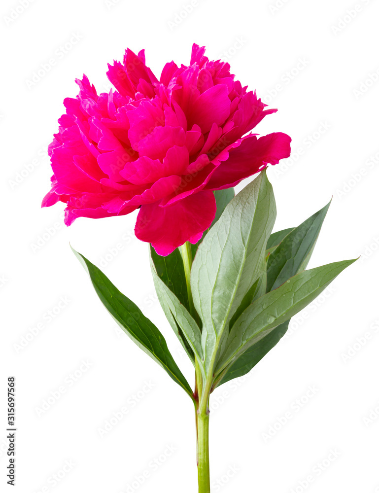 Beatifulful Roses (Peony, Paeonia) isolated on white background, including clipping path. Germany
