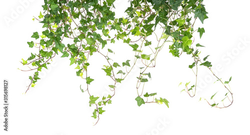 Fotomural ivy isolated on a white background.