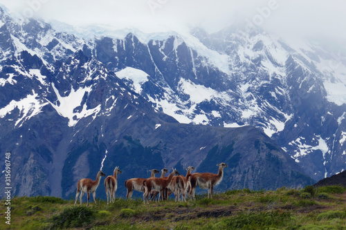Guanacos in the Patagonia mountains