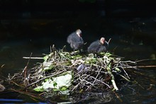 Two Eurasian Coot Babies On Nest On Water, In The Park.