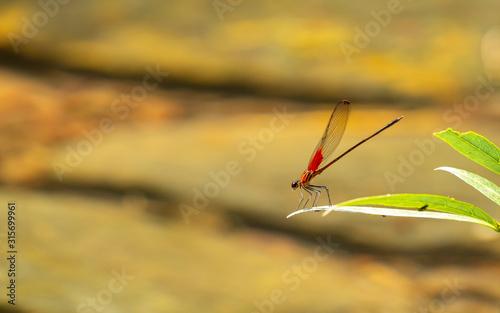 Photo anisoptera sobre rama verde