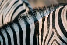 Namibia, Close-up Of Zebra Man...