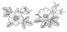 Wild Rose Flowers And Berries, Line Art Drawing. Outline Vector Illustration Isolated On White Background