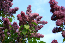Lilac Shrub In Full Bloom. Spr...