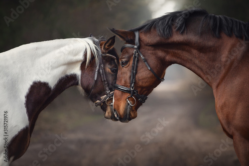 Fototapeta close up portrait of stallion and mare horses in love nose to nose sniffing each other on road in forest background obraz