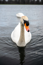 White Swan Portrait