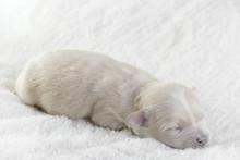 Little Blind Dog. Maltipoo Is A Newborn Puppy.