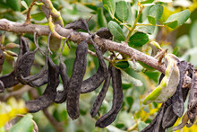 Carob Tree With Pods And Green...