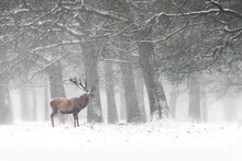 Red Deer Stags (Cervus Elaphus) In The Dutch Winter Snow. National Park Hoge Veluwe In The Netherlands. Forest In The Background.