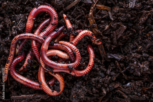 Cuadros en Lienzo Many living earthworms for fishing in the soil, background