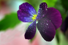 Viola Tricolor, Also Known As Johnny Jump Up Or Yellow Pansy, Heartsease, Violas Or Pansies Closeup Macro With Water Drops