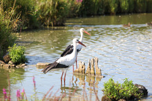 Two Storks Graze In A Pond.