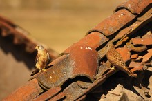 The Pair Of Lesser Kestrel (Falco Naumanni) Sitting On The Old Crashed Roof.
