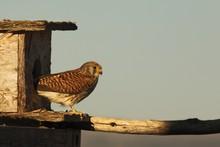 The Lesser Kestrel (Falco Naumanni) Female Sitting On The Old Crashed Roof.