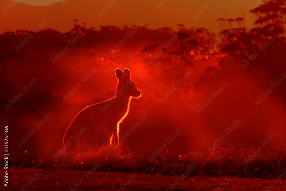 Fototapeta Macropus giganteus - Eastern Grey Kangaroo, standing close to the fire in Australia. Burning forest in Australia