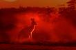 Leinwanddruck Bild - Macropus giganteus - Eastern Grey Kangaroo, standing close to the fire in Australia. Burning forest in Australia
