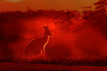Macropus Giganteus - Eastern Grey Kangaroo, Standing Close To The Fire In Australia. Burning Forest In Australia