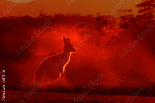 Macropus giganteus - Eastern Grey Kangaroo, standing close to the fire in Australia Canvas Print