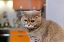 Scottish Straight Cat Somehow Looks Sad