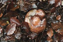 Wet Brown Mushroom Between Fal...