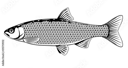 Fototapeta Realistic golden orfe fish in black and white isolated illustration, one freshwater fish on side view obraz