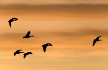 Flying Geese - A Team Of Canad...