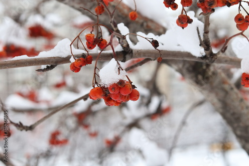 Winter in the city. Red bunches of mountain ash under the snow. Wallpaper Mural
