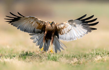 Marsh Harrier (Circus Aerugino...