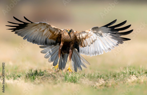 Fotografia Marsh harrier (Circus aeruginosus) - male